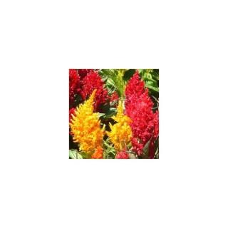 Célosie plumeuse. La jardinière de 40 cm 371051
