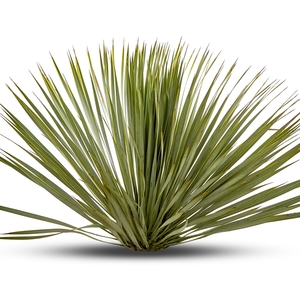 Yucca Rostrata en pot de 70 L 371186