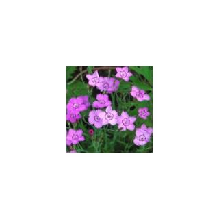 Dianthus Deltoides. Le pot de 1,6 litre 371220