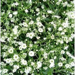 Gypsophile voile de Mariée. Le pot de 1,6 litre 371227