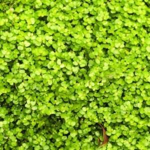 Helxine Verte. Le pot de 1,6 litre 371229