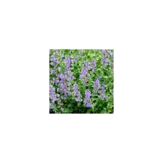 Nepeta Faassenii Bleu. Le pot de 1,6 litre 371238