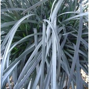 Ophiopogon pourpre. Le pot de 1,6 litre 371240