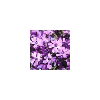 Phlox nains variés. Le pot de 1,6 litre 371242