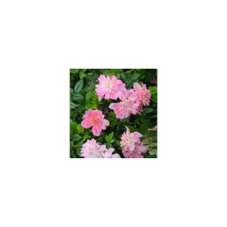 Mini rosier rose en pot de 1,6 L 371246