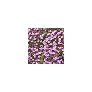 Saponaire rose en pot de 1,6 L 371249