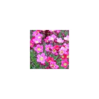 Saxifrage mousse rose en pot de 1,6 L 371250
