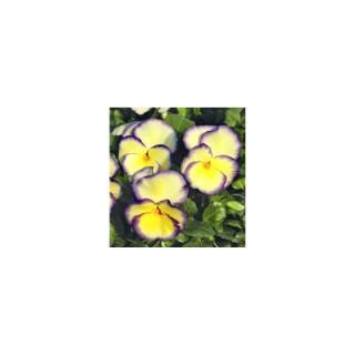 Viola vivace bleue en pot de 1,6 L 371253