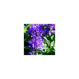 Campanula Glomerata. Le pot de 1,6 litre 371258