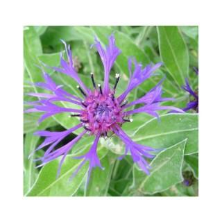 Centaurée vivace. Le pot de 1,6 litre 371259