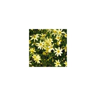 coreopsis verticillata. Le pot de 1,6 litre 371261