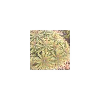 Euphorbe vivace à feuillage panaché. Le pot de 1,6 litre 371267