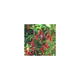 Fuchsia vivace. Le pot de 1,6 litre 371268