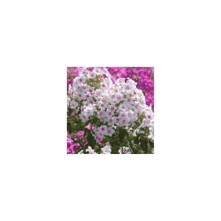Phlox Paniculata. Le pot de 1,6 litre 371277