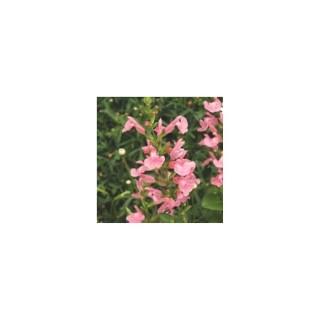 Salvia microphylla multicolore en pot de 1,6 L 371283