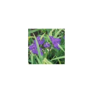 Tradescantia bleu en pot de 1,6 L 371285