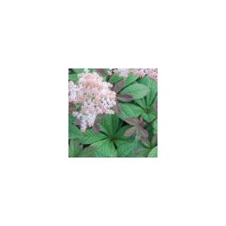Rodgersia vert en pot de 1,6 L 371294