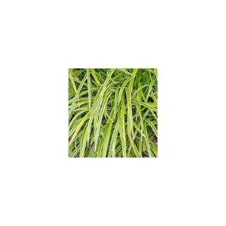 Carex Morowii Variegata. Le pot de 1,6 litre 371304