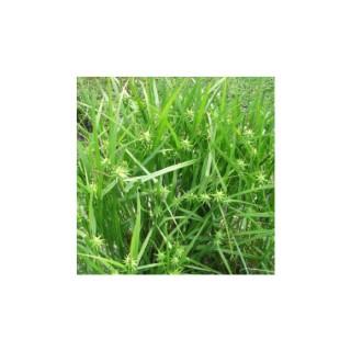 Carex Grayi. Le pot de 1,6 litre 371306