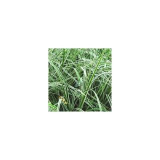 carex ornithopoda variegata. Le pot de 1,6 litre 371308