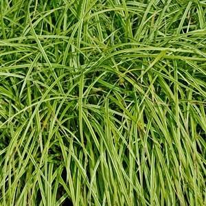 Carex Pendula. Le pot de 1,6 litre 371309