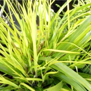 Carex Oshimensis Everillo. Le pot de 1,6 litre 371313