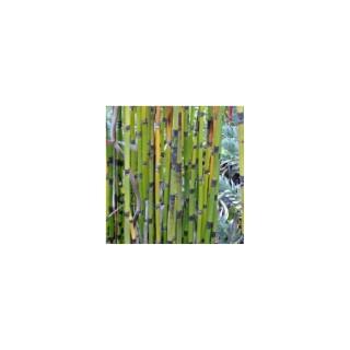 Equisetum Japonicum. Le pot de 1,6 litre 371314