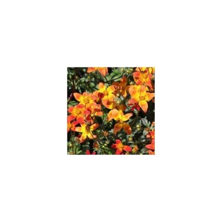 Bidens orange. Le pot de 1 litre 371802