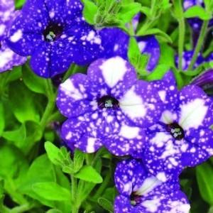 Pétunia à massifs bleu nuit. Le pot de 1 litre 371803