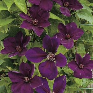 Clématite Gipsy Queen violet en pot de 3 L 372216