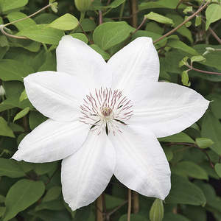 Clématite Henryi botanic® - Pot de 3L recyclé 372218