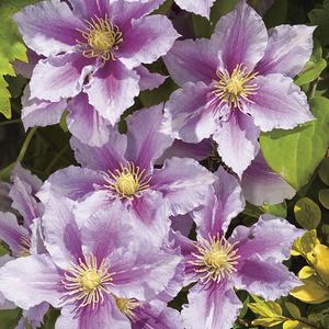 Clématite Piilu botanic® - Pot de 3L recyclé 372222