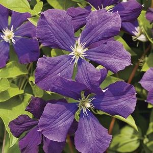 Clématite Viticella étoile violette botanic® - Pot de 3L recyclé 372229