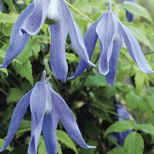 Clématite Alpina Frances Rivis botanic® - Pot de 3L recyclé 372232