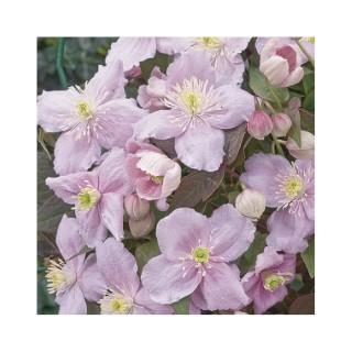 Clématite Montana Mayleen botanic® - Pot de 3L recyclé 372233