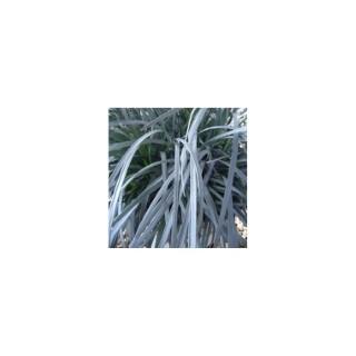 Ophiopogon. Le pot de 1 litre 372306