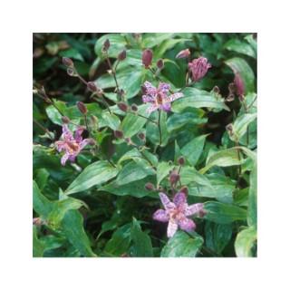 Tricyrtis rose en pot de 1 L 372308