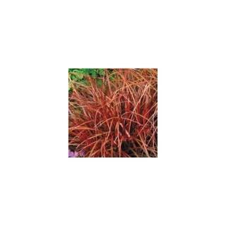 Uncinia rubra rouge en pot de 1 L 372309