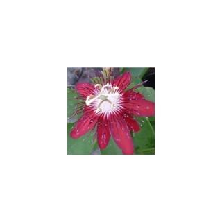 Fleur de la passion en tippi. Le pot de 5 litres 372316