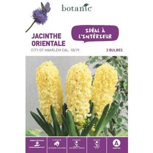 Jacinthe City of Haarlem jaune botanic® - 2 bulbes d'intérieur 372383
