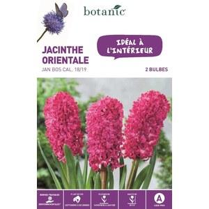 Jacinthe Jan Bos rouge botanic® - 2 bulbes d'intérieur 372386
