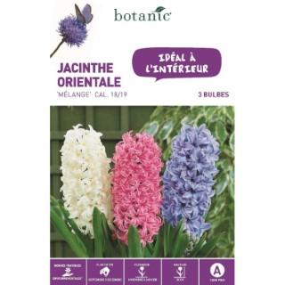 Jacinthe en mélange botanic® - 3 bulbes d'intérieur 372387