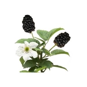 Rubus brazelberries® baby cakes® 372913