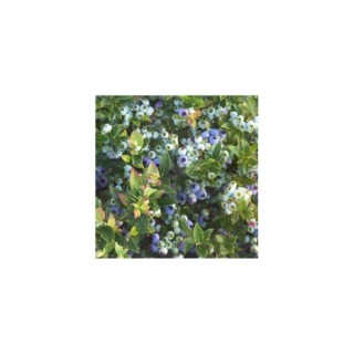 Vaccinium brazelberries ® jelly bean® 372916