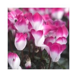 Cyclamen à grandes fleurs Indiaca® Le pot de 1 litre 373030
