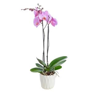 Phalaenopsis  ou Orchidée Papillon 2 branches pot D.12 cm 373280