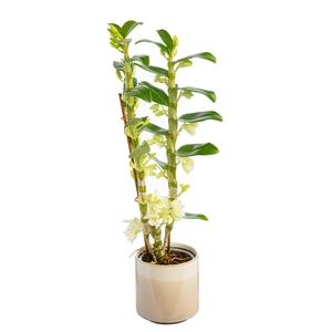 Dendrobium nobilé 2 branches avec cache-pot Ø 12 cm 373424