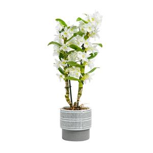 Dendrobium Nobile botanic® + cache-pot blanc 373436