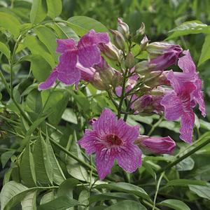 Podranea Ricasoliana Violet sur échelle – Pot de 3L 375032