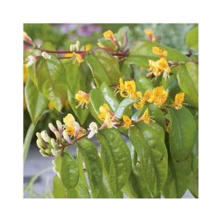 Lonicera Henryi Copper Beauty® botanic® 375043